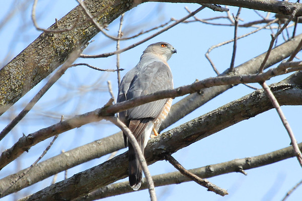 A Cooper's hawk was making quite a ruckus at Shadyside Park on Monday.<br /> <br /> Photographer's Name: Jeff Bryant<br /> Photographer's City and State: Champaign, Ill.