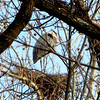 A blue heron along Killbuck Creek off 360 North near Anderson. There are several nests in the rookery.<br /> <br /> Photographer's Name: Rita Drews<br /> Photographer's City and State: Anderson, Ind.