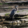 A heron at Pendleton Park.<br /> <br /> Photographer's Name: Laura Jones<br /> Photographer's City and State: Alexandria, Ind.