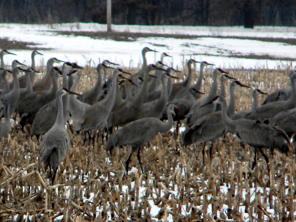 The sandhill cranes in northwest Indiana are exciting to see.<br /> <br /> Photographer's Name: Rita  Drews<br /> Photographer's City and State: Anderson, Ind.