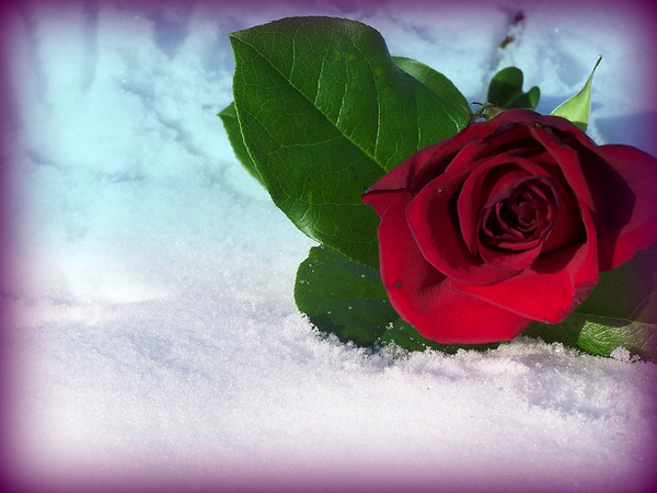 A rose in the snow<br /> <br /> Photographer's Name: Laura Johnson<br /> Photographer's City and State: Alexandria, IN