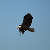 A bald eagle at Prairie Creek, Selma, Indiana.<br /> <br /> Photographer's Name: Evelyn Bauer<br /> Photographer's City and State: Anderson, Ind.