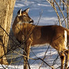 Proud deer in my woods in Richland Township.<br /> <br /> Photographer's Name: J.R. Rosencrans<br /> Photographer's City and State: Alexandria, Ind.