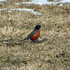 Signs of spring: snow leaving and robins arriving in Richland Township.<br /> <br /> Photographer's Name: J.R. Rosencrans<br /> Photographer's City and State: Alexandria, Ind.