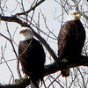 A pair of bald eagles. I took this picture along the Wabash River recently.<br /> <br /> Photographer's Name: Rita Drews<br /> Photographer's City and State: Anderson, Ind.