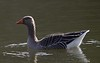 Greylag Goose on Fyvie Castle Lake