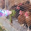 Feeding the hens chickweed.