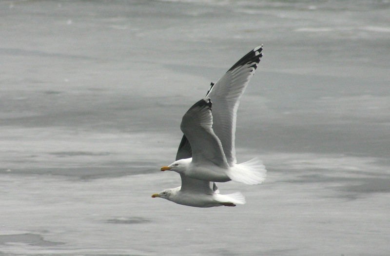 Synchronized Gulls: Herring Gull front, Lesser Black-Backed Gull behind