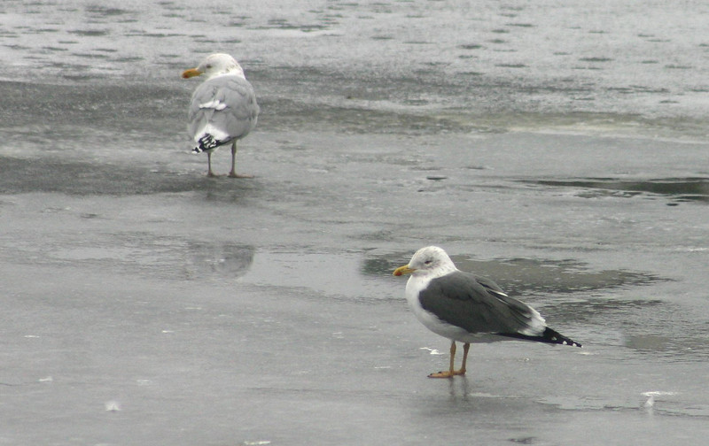 Lesser Black-backed Gull, Bedford N.S. March 8, 2014