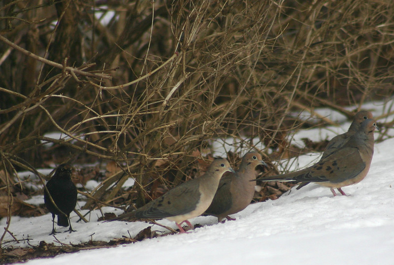 Rusty Blackbird with Mourning Doves Chester N.S.