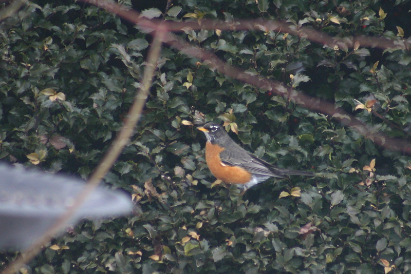 Am. Robin, Chester N.S.