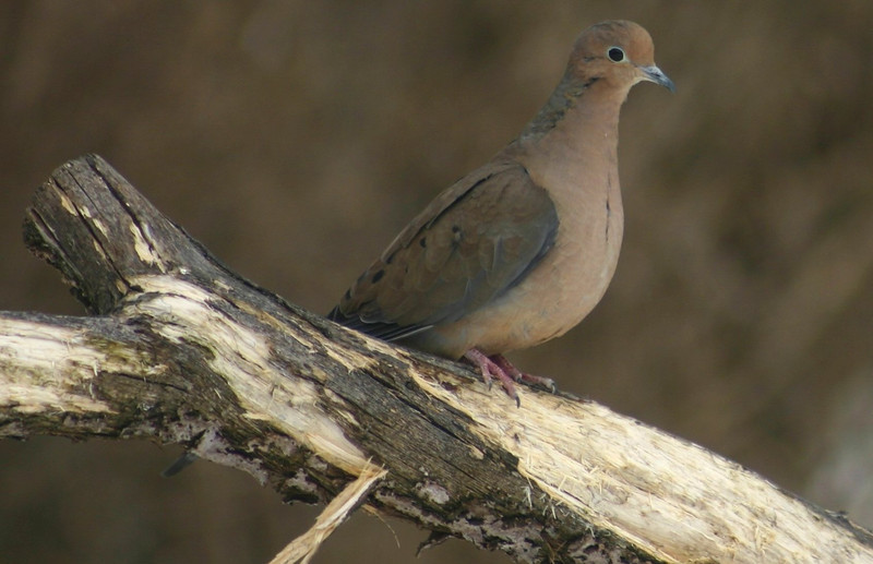Mourning Dove, Chester N.S.