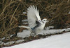 Unusual Blue Jay, Chester N.S. March 8,2014
