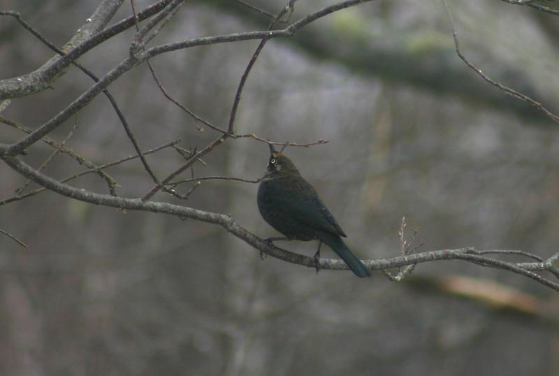 Rusty Blackbird, Chester N.S. March 8TH,2014