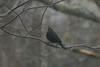 Rusty Blackbird, Chester N.S. March 8TH,2014