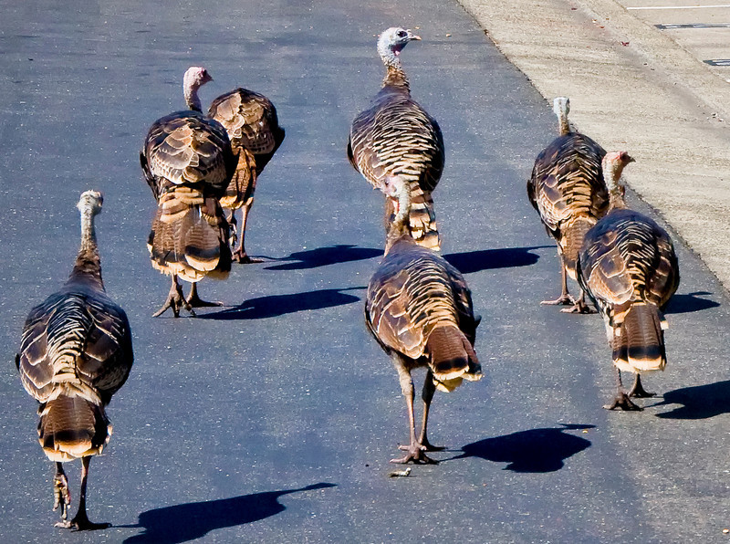 A close up shot of the turkeys.