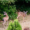 Deer frequently travel down San Jose Creek past our condos.