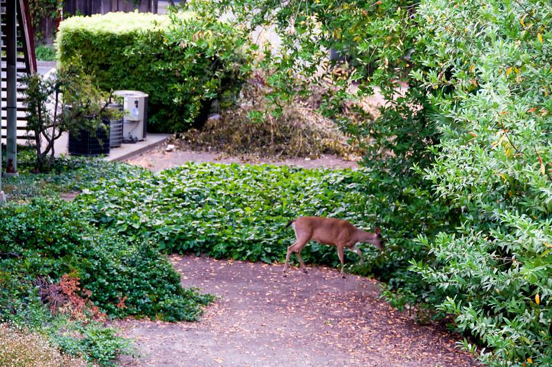 These deer photos were taken July 10, 2008.
