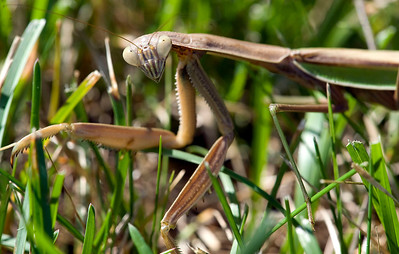 A Praying Mantis sits in the grass in Whitmore Lake, MI on Sept 17, 2011.