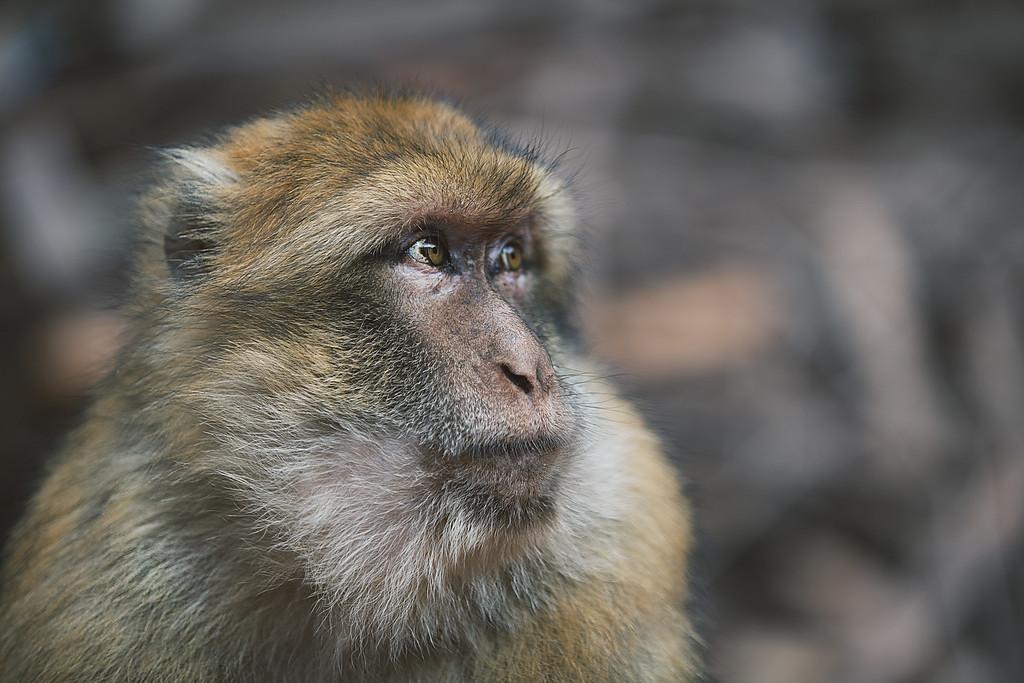 Moroccan Macaque
