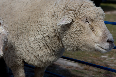 Sheep wool grows slower than the Angora Goats, so these sheep won't be sheared today.  They are sheared each spring.