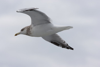 There was a gull that followed alongside us the whole way to Martha's vineyard, quite close by (this photo is not cropped).