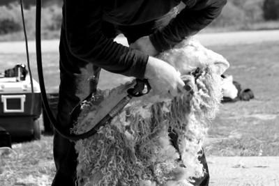 Goat shearing.