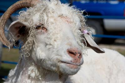 Freshly shorn Angora goat.