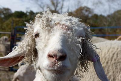 Angora goat checking me out.