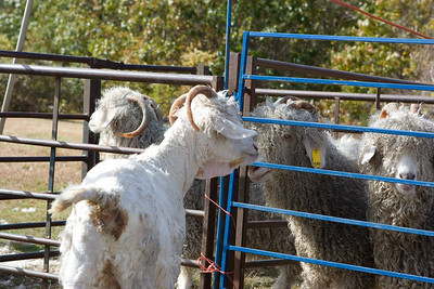 """The goats started in one pen, moved to a staging pen, then were put into a """"done"""" pen."""
