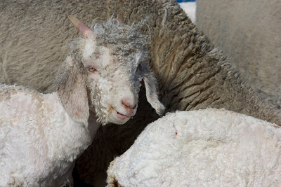 Freshly shorn Angora Goat kid.