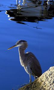 Blue Heron, Menemsha