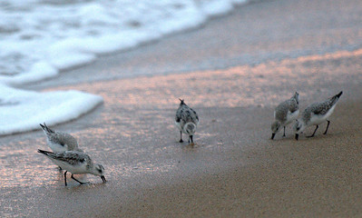 Sandpipers at Sunrise
