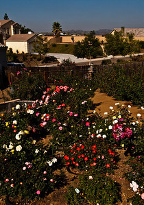 View north over the floribundas and other bright blooms, Marmalade Skies, Julia Child, orange mini 'Gizmo' and Peach Drift.