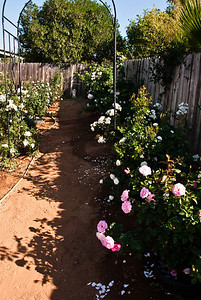 "Here is the southeast arbor, at the entrance to the ""white garden"". The pink rose is J & P's new Kimberlina."