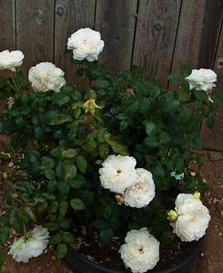 Most fragrant floribunda ever, Bolero 2004