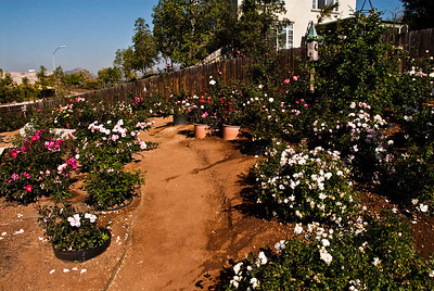 Middle path, between floribundas on the left and polyanthas in the right