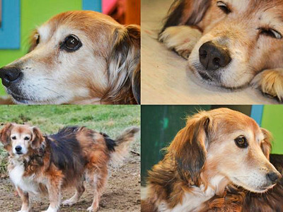 """This is the original post and photo collage that the Hancock County Animal Shelter Foundation listed on Facebook on May 13, 2013.  It had 102 Likes, 18 Comments, and 66 Shares.   """"We love our animal companions and when treated with respect they return that love. We love them when they get old. We love them when they get a tumor and we take them to a vet to have it removed. We love them by getting them spayed/neutered which increases their health and life span greatly. We love them when they rest their head on our lap and stare up at us. We love them when they are running around in the yard acting goofy and all of sudden notice that we are watching them and give us a look like """"What are you looking at?"""" Their love is unconditional and that is all they want from us.  Maryanne is a 10 year old dog that was found wandering the streets. She came to the shelter in Nov. of 2012. She is fine around other dogs and cats as long as they do not get up in her face. She had a softball size tumor removed from her belly and spent a month with a cone over head. She has a back leg that will get sore after running around for awhile. She also has a lot of fight and life left. She has a lot of love to give. She loves to roll around on her back in the grass.  Now lets talk about what she does not have. Maryanne does not have a home or family."""""""