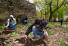 Fig 8.29 / Comunity garden with a sign or volunteers in a community garden or teens working a school garden<br /> <br /> Choice  11 of 13<br /> <br /> Teenagers plant heritage roses in Mt. Morris Park in the Harlem Heritage Rose District in New York in celebration of Earth Week on Saturday, April 30, 2011.  The Heritage Rose District of New York, located in Harlem is the largest public planting of heritage roses in the east coast.  (© Frances M. Roberts) (Newscom TagID: lrphotos061256) [Photo via Newscom]
