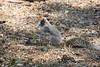 Myrtle Beach, SC fox squirrel
