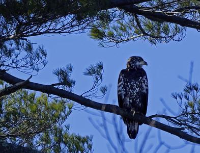 Juvenile Bald Eagle, 2/2020