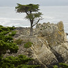 Lone Cypress Tree, Carmel Ca.