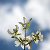 dogwood and sky