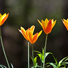 """tulip """"Clusiana Chry Tubergens Gem"""""""
