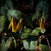 native trout lily