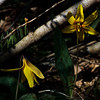 native dog tooth lily
