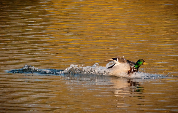 A duck landing on the water at Falls Creek Park in Pendleton.<br /> <br /> Photographer's Name: Terry Lynn Ayers<br /> Photographer's City and State: Anderson, Ind.