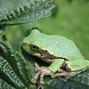 A tree frog.<br /> <br /> Photographer's Name: Rex Rice<br /> Photographer's City and State: Middletown, Ind.