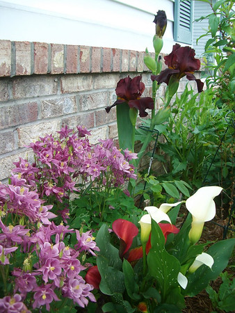 Iris, calla lillies and columbine form a spring bouquet in Art Tate's flower garden.<br /> <br /> Photographer's Name: Art Tate<br /> Photographer's City and State: Anderson, Ind.