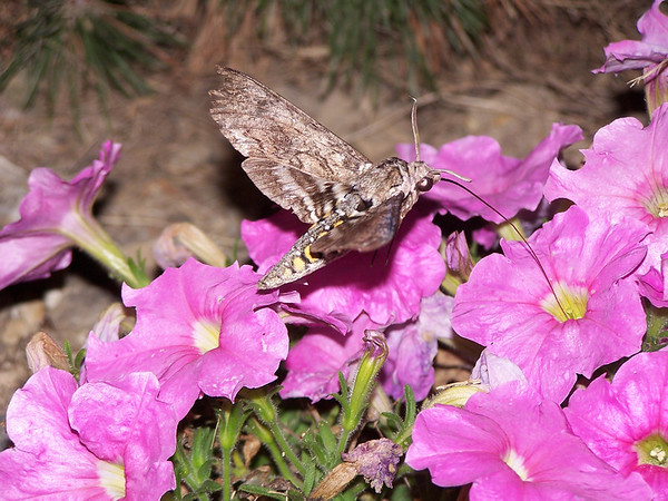 A hummingbird moth dining.<br /> <br /> Photographer's Name: Mike Rice<br /> Photographer's City and State: Middletown, Ind.